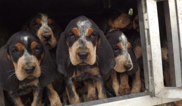 Home - Phipps Big Game Hounds